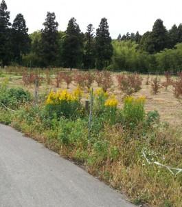 セイタカアワダチソウが侵入した「うららの森」ブルーベリー畑