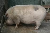 太った豚3